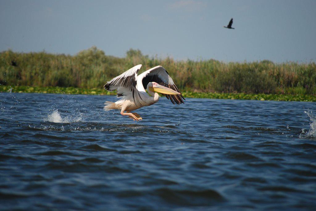 Pelican Delta Dunarii